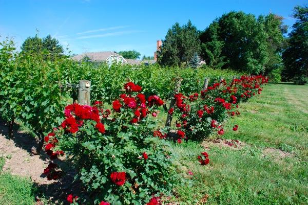 Vine yard